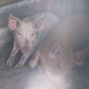 CEIMER Cerdos