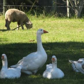 CEIMER Gansos y oveja