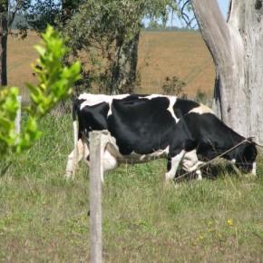 CEIMER La vaca del establecimiento